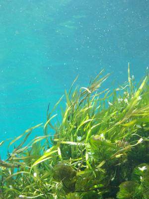 obertyvanie morskimi vodoroslyami