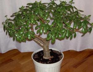 Денежное дерево: свойства и уход в домашних условиях