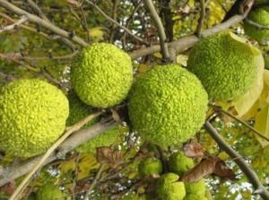Лечение суставов: рецепт из адамова яблока