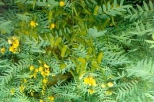Сенны листья – инструкция, применение от запора, отзывы, цена