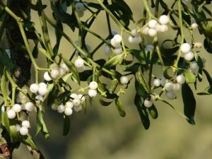 Трава омела белая для похудения как принимать