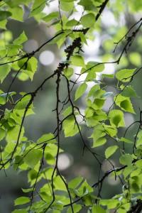 Когда собирать листья берёзы