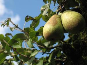 Почему не плодоносит груша