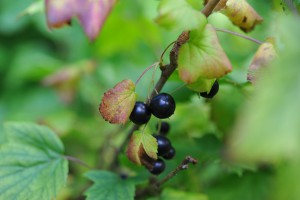 Уход за черной смородиной осенью