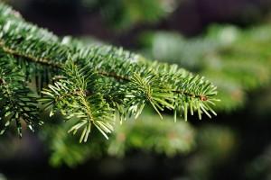 Как выбрать живую елку