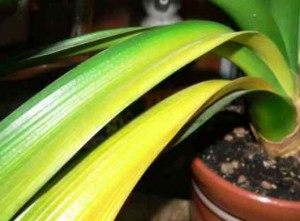 Кливия: желтеют листья