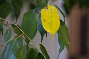 Фикус Бенджамина: желтеют и опадают листья