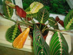 Маранта – желтеют листья