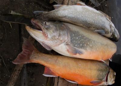Рыба голец: польза и вред, полезные свойства