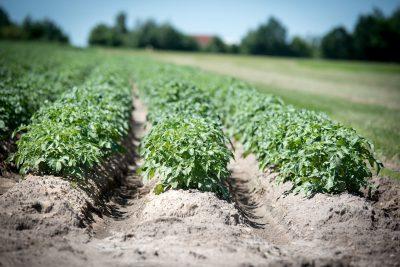 Сон видеть картофельное поле
