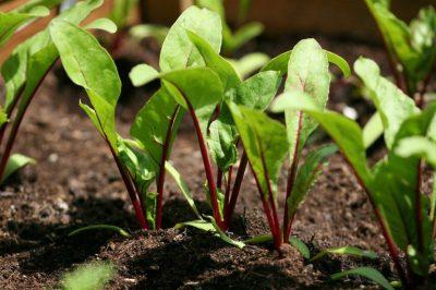 Что сажать после свеклы? Что можно посадить на следующий год, подходит ли капуста и огурцы, можно ли на этой грядке вырастить чеснок и редис