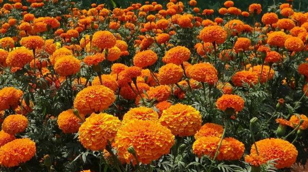 Бархатцы цветут