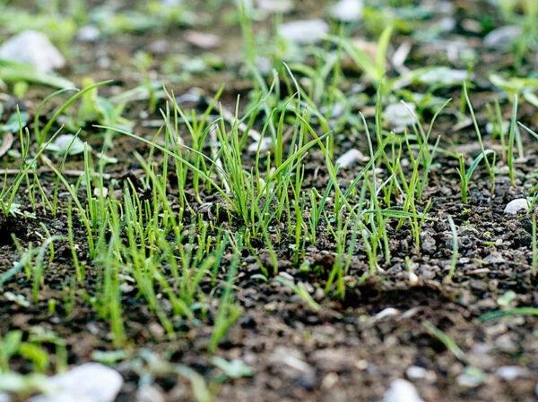 когда всходят семена цинии после посева