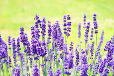 lavender-1117274_960_720