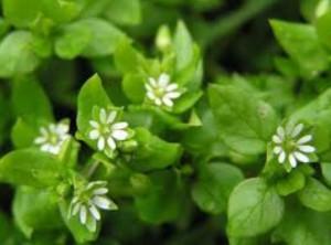 Мокрица трава лечебные свойства артриты противопоказания
