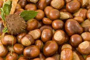 Как посадить каштан из ореха дома