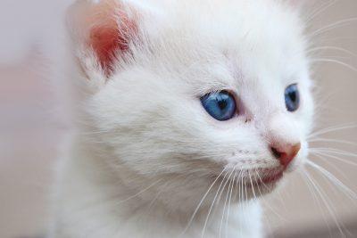 Белый котенок