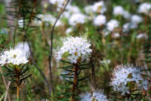 Багульник болотный: лечебные свойства и противопоказания, применение багульника в рецептах народной медицины ( отзывы)
