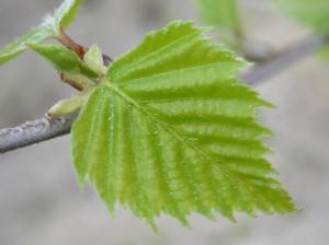 листья березы для суставов