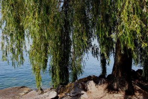 Кора ивы - лечебные свойства и противопоказания, применение коры ивы в народных рецептах