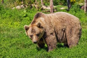 медвежий жир для лечения суставов