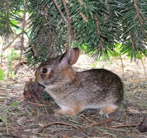 Как избавиться от зайцев на участке