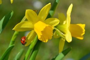 Когда сажать нарциссы: весной или осенью? Выбираем месяц высадки луковиц нарциссов