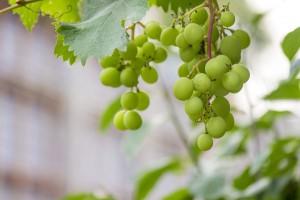 Масло виноградных косточек для ресниц