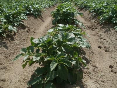 Выращивание картофеля в открытом грунте: посадка и уход