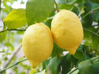 Выращивание лимона в открытом грунте: посадка и уход