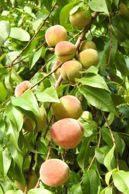 Персик посадка и уход