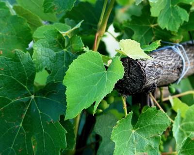 Виноград выращивание