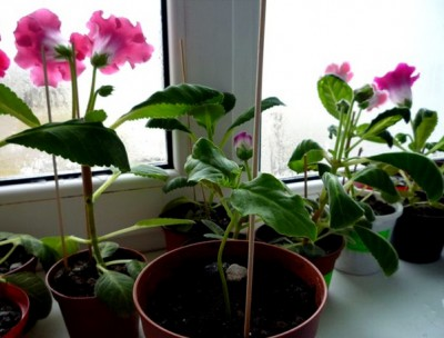 Кобея выращивание из семян в домашних условиях